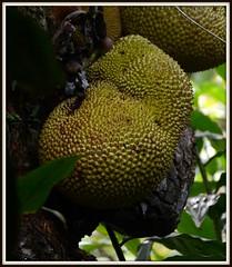 DSC_0255 January 17, 2017, jack fruit, Kuranda, Australia (steveto2645) Tags: jackfruit kuranda australia