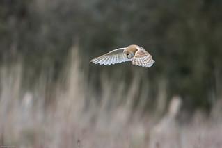 Barn Owl (tyto alba) hunting