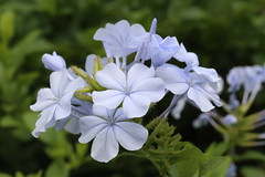 Plumbago Series (C. VanHook (vanhookc)) Tags: blue plumbago leadwort