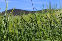 Thread-leaved brodiaea is a federal and state threatened species. (USFWS Pacific Southwest Region) Tags: brodiaeafilifolia threadleavedbrodiaea perennial endangeredspecies threatenedplant threatenedspecies usfishandwildlifeservice usfws planttranslocation conservation southerncalifornia sandiegocounty