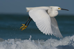 Snowy Egret (Jesse_in_CT) Tags: snowyegret nikon200500mm j h