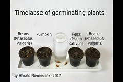 Timelapse of germinating seeds and growing plants (HNieme) Tags: timelapse germinating germination seed seeds plant plants bean beans pea peas pumpkin pumpkins pumkinseeds pumpkinseed growing zeitraffer samen jungpflanzen pflanzen bohnen bohne kürbisse kürbis erbse erbsen video film cute