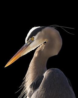 Great blue heron in morning light