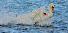 Under my wing (xDigital-Dreamsx) Tags: swan water waterway waterfowl waterbird nature wildlife fowl muteswan scotland linlithgow loch lake river white blue splash fight mating