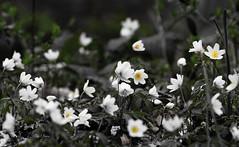 début de printemps - Early spring (n° N6MAA10816) Tags: fleur flowers nature desaturation green vert jaune yellow extérieur