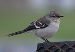 5D2A0350-1 Northern Mockingbird (John Pohl2011) Tags: canon eos7dmarkii 100400mm 100400mmlens john pohl bird perching