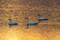 Morning Swim (ranzino) Tags: middlecreekwildlifemanagementarea pa pennsylvania snowgeese stevens animal bird birds sunrise newmanstown unitedstates us