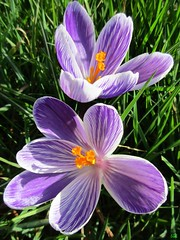 März╰ ❀╮ (Éric…Mon chemin ⊰♥) Tags: flower garden grass crocus safran canon nature printemps spring mars march 2017 light pétales pistil
