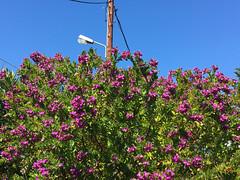 Myrtifolia Polygala (RobW_) Tags: myrtifolia polygala shrub garden tsilivi zakynthos greece thursday 23mar2017 march 2017
