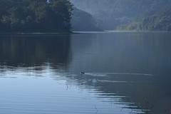 lonely duck (bluefam) Tags: duck tree pine