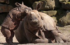 indian rhino Namaste and Karuna Blijdorp BB2A1038 (j.a.kok) Tags: rhino rhinocerosunicornis indianrhinoceros indischeneushoorn indianrhino pansterneushoorn neushoorn azie asia mammal zoogdier herbivor