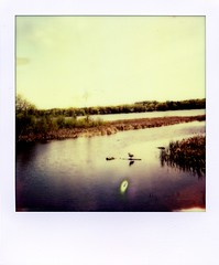 polaroid - stopped to watch nature (buttercup caren) Tags: nature water polaroid outside scenic 600 marsh canadagoose impossibleproject px680 colorprotection