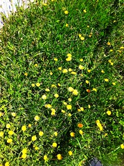 My entire yard looks like this. (SamuelS291) Tags: green grass yellow yard outside dandelions iphoneography uploaded:by=flickrmobile flickriosapp:filter=nofilter