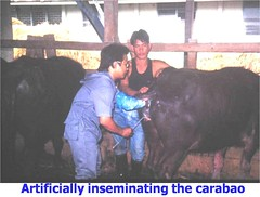Dr. C Artificial Insemination Carabao (Verr 54) Tags: dr severino ai capitan carabao uplb artificialinsemination