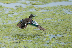 Blue-winged Teal, male (Anas discors) (Michael J Porter) Tags: bird birds britishcolumbia walkervalley 108mileranch
