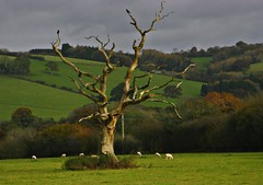 Sculptural Death (Dazzygidds) Tags: naked somerset devon deadtree crows organicsculpture exevalleyway