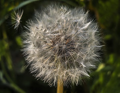Invader Parting Company (Follow That Dream Photography) Tags: light clock fluffy dandelion seedhead invader airborne blowball finehair windaideddispersal