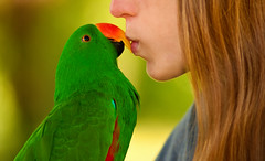 Kissing Kiwi (Proleshi) Tags: orange green bird animal hair kiss parrot naturallight 180 28 fowl kiwi eclectus josephs jamal redsided d300s proleshi jamaljosephs
