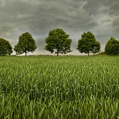 Rain Clouds (L I C H T B I L D E R) Tags: trees summer panorama field rain june juni clouds germany sommer feld 1001nights bume dorp rainclouds linde mettmann regenwolken tiliaplatyphyllos fieldtrees sommerlinde
