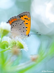 Butterfly (Kawapon) Tags: plant flower macro nature japan butterfly bokeh olympus     em5  omdem5