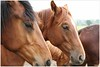 paarden (5D053624) (Hetwie) Tags: paarden paardenhoofd