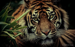 Fabi: Sumatran Tiger (CharlotteBoyleMedia) Tags: grass animal fur mammal eyes fierce stripes tiger bigcat hunter predator gaze sumatran 400mm animalhead canon550d