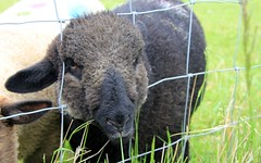 ear ear (herefordcat) Tags: black fence sheep farming ear lamb