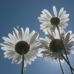 #daisies (stupid blue) Tags: android instagram andrography