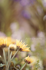 Epic of yellow flowers (kwngmy) Tags: life flowers flower classic nature yellow 35mm vintage golden still cinematographer cinematic lanscape afs d5000 f18g