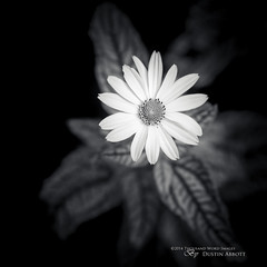 Bursting (Thousand Word Images by Dustin Abbott) Tags: flowers light summer bw ontario canada flower monochrome beautiful leaves square pembroke shadows bokeh fineart blossoms compression daisy handheld fullframe petawawa selectivefocus narrowdepthoffield wideopen delineation dimensionality canoneos6d thousandwordimages dustinabbott dustinabbottnet tamronsp70200mmf28divcusd adobelightroom5