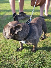 dogs ear (squeezemonkey) Tags: dog countryside village event ear spectators tetford terrierracing