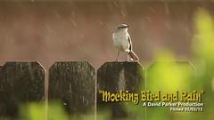 Mocking Bird and Rain (David's Adventures) Tags: bird canon fence video backyard 40 mockingbird mocking f4l 600mm