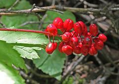CAB018793a (jerryoldenettel) Tags: flower nm wildflower ranunculaceae chinaberry baneberry redbaneberry actaearubra actaea ranunculales dollseye eudicots 2013 santafeco