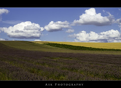 Lavender Field (AS Kharyal) Tags: uk greatbritain summer england flower color field clouds canon landscape europe purple wheat lavender bluesky 7d sunflower gb f28 hertfordshire hitchin 1635mm LFM:eventid=lfmhitchin2013