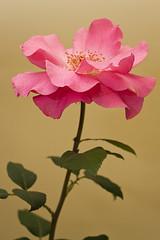 Rose (38) (arfi_arfi) Tags: flowers red roses plants plant flower color macro art colors beauty rose garden petals flora artistic blossom rosepetals artisticphotography flowerart flowerscolors amazingdetails