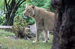 Lioness (Jenna Buller (busy)) Tags: cats london animal animals female cat canon eos zoo big lion bigcat lioness londonzoo enclosure 550d zsl