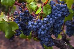 Early Rain #11 (Tom Moyer Photography) Tags: california rain vineyard vines grapes raindrops sonomacounty winecountry