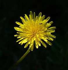 Dandelion & friend (thinduck42) Tags: flower macro bug insect weed dandelion panasonic fz200