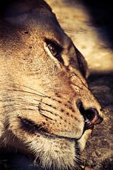 lion resting (SNUlightphotography) Tags: blue wild portrait black macro bird nature smile animals canon insect rebel spider lion spots ape giraffe creature longlegs wildanimals blacknblue