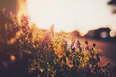 Summergold (Manuel Gutjahr) Tags: light sunset summer sun plant flower nature 35mm golden nikon warm bokeh 14 manuel nikkor creamy d800 gutjahr