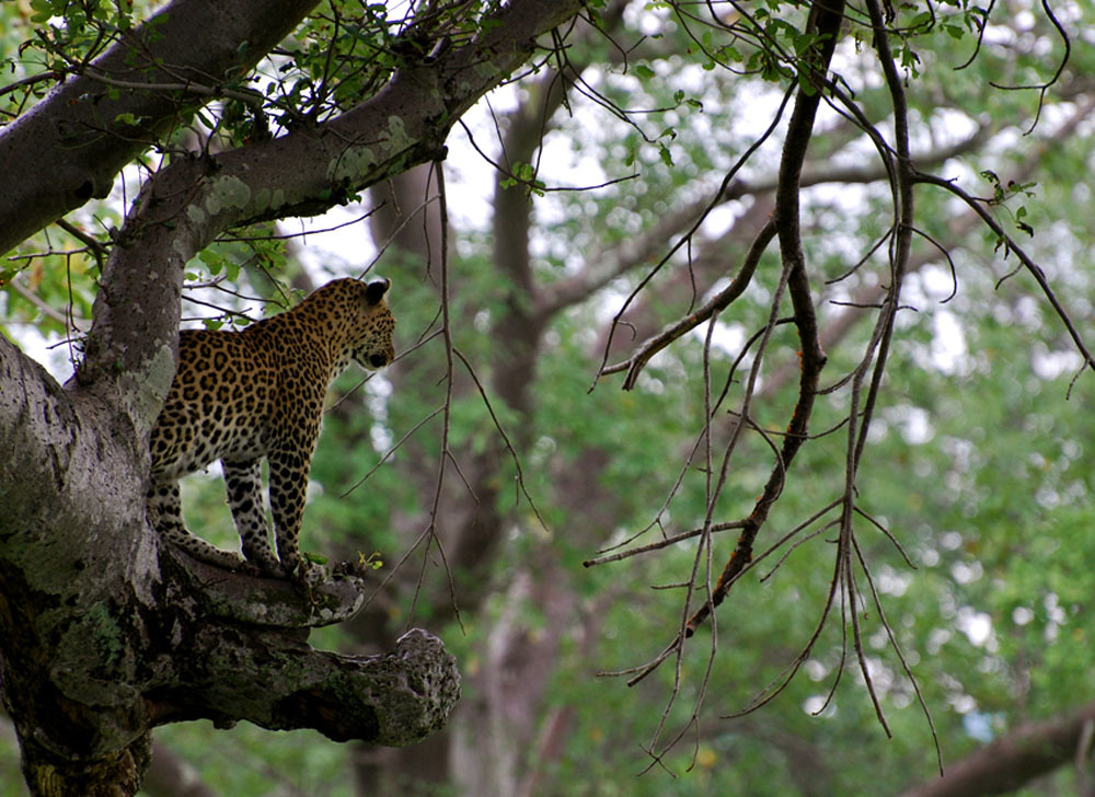 Kigelia Camp - Mama Leopard looking into the view