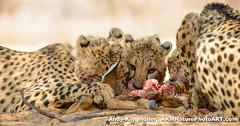 Cheetah meal (AKMNaturePhotoART) Tags: ca eye cat cub big eyes adult feeding eating group eat bigcat cheetah cubs feed predator namibia carnivorous kalahari cheetahs acinonyxjubatus acinonyx jubatus predacious