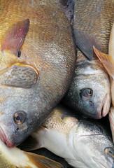 Bang the drum (piscator_4) Tags: fish fishing drum greatlakes prey fishes freshwater sheepshead aplodinotusgrunniens coarsefishes freshwaterfishes freshwaterdurm