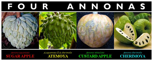 4 Annonas: SUGAR APPLE - ATEMOYA - CUSTARD APPLE - CHERIMOYA