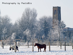 Horses in the snow... _02 (PaoloBis) Tags: schnee winter horses snow cold tower ice animals caballos tiere frost torre tour hiver nieve brina olympus neve getty animales invierno neige animaux turm eis inverno fro pferde cavalli freddo gel froid hielo animali gettyimages glace chevaux ghiaccio helada  erkltung e500  dese      paolobis