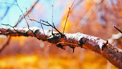 PA020148-5 (25 minutes) Tags: china yellow forest f14 birch 25mm em5 omdem5 wulanbu