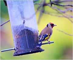 Goldfinch (eric robb niven) Tags: winter scotland dundee wildlife goldfinch dunkeld birnam wildbird ericrobbniven pentaxk50