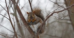 Do you have any more Bird Seeds? (praja38) Tags: life wood trees winter wild food snow ontario canada cold tree male nature forest mammal rodent paw woods squirrel branch feeding wildlife tail gray platform nuts birdfeeder fork canadian seeds whitby marsh feed wilderness wintertime wetland capricorn greysquirrel lyndeshores easterngraysquirrel cranberrymarsh lyndeshoresconservationarea