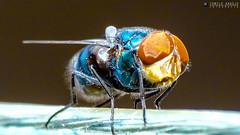 Fly (Camilo Arajo) Tags: macro fly mosquito mosca varejeira