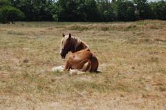 Jtlnder Kaltblutpferde auf der Insel Rm in Dnemark (bunkertouren) Tags: pferde dnemark rom pferd romo fohlen kaltblter rm rm rm jtland kaltblut jtlnder rm